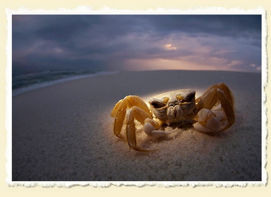 Ghost Crab � Gulf Islands National Seashore