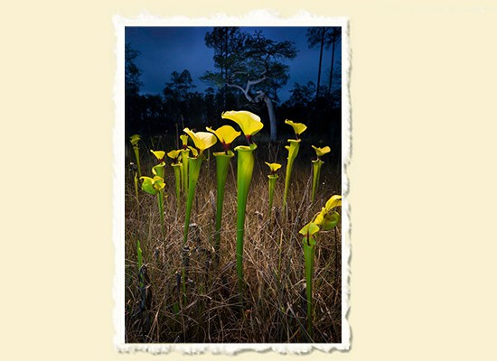 Twilight � Apalachicola National Forest