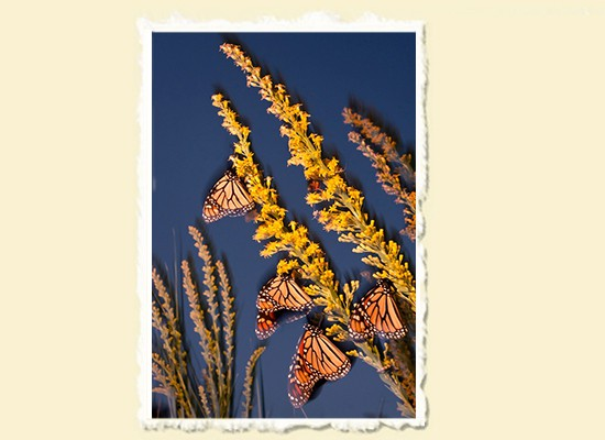 Monarch Migration � St. Marks National Wildlife Refuge